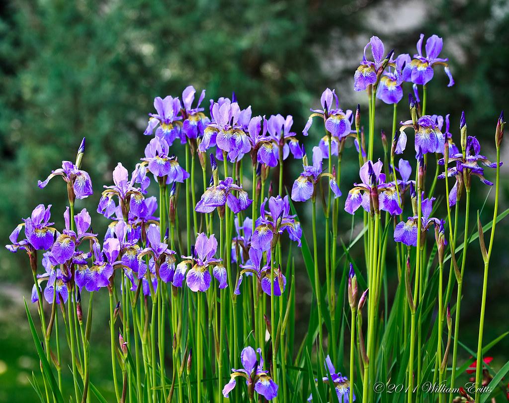 A Display of Beautiful Iris Flowers A Display of Beautifu…