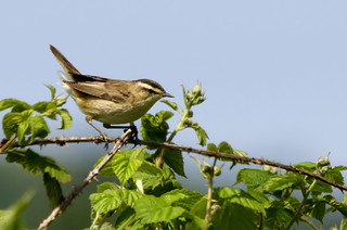 Sedge Warbler | by @JPD_Photography