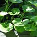 Gartenkürbis - ich hoffe auf gute Ernte