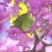 Série com o Tuim-de-Asa-Amarela, Periquito, Maritaca (Brotogeris chiriri chiriri) no Ipê-Roxo Bola (Tabebuia impetiginosa) -  Series with the Yellow-chevroned Parakeet (Brotogeris chiriri chiriri) at the Pau D'Arco Bark - 07-06-2012 - IMG_9885