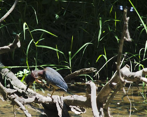 Unidentified bird on C&O canal towpath | by jonevil