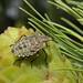 Forest bug instar