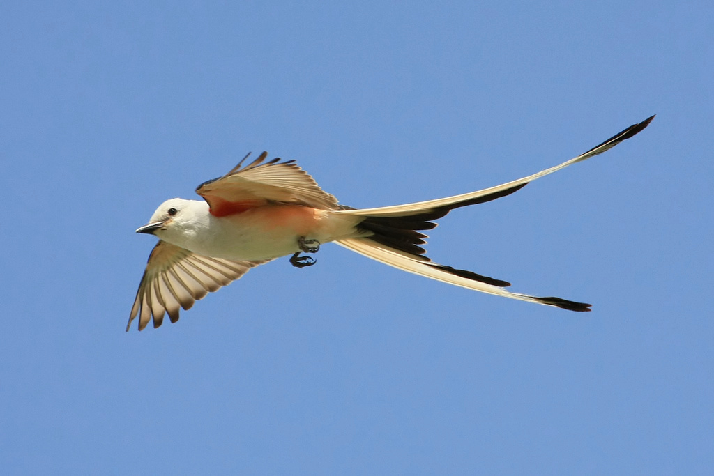 Image Result For Scissor Tailed Flycatcher
