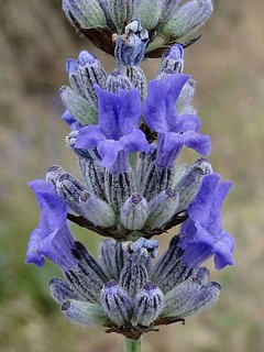 Thanks be to Bleu. Common Lavender, Lavandula angustifolia, Îl de Ré, Charente-Maritime, France | by Rana Pipiens