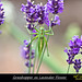 Grasshopper on Lavender Flower