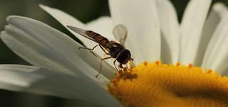 Fly on a Daisy July 2012 | by GOR44Photographic@Gmail.com