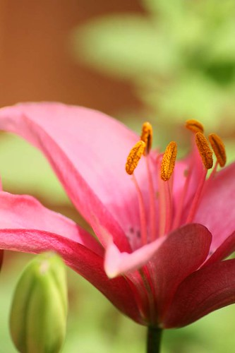 Asiatic Lily | by haberlea