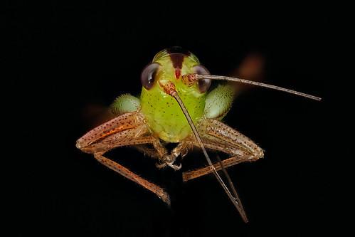 Grasshopper Face 2012 07 03 15 13 28 Zs Pmax Nymph