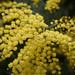 Acacia decurrens