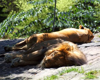 Lions, Bronx Zoo, New York City | by jag9889