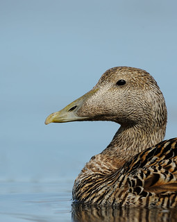 Female Eider | by Benjamin Joseph Andrew