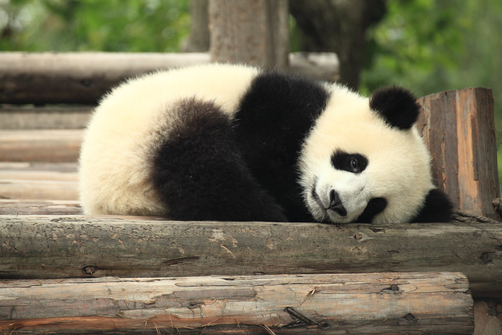Chengdu-China-Oso-Panda