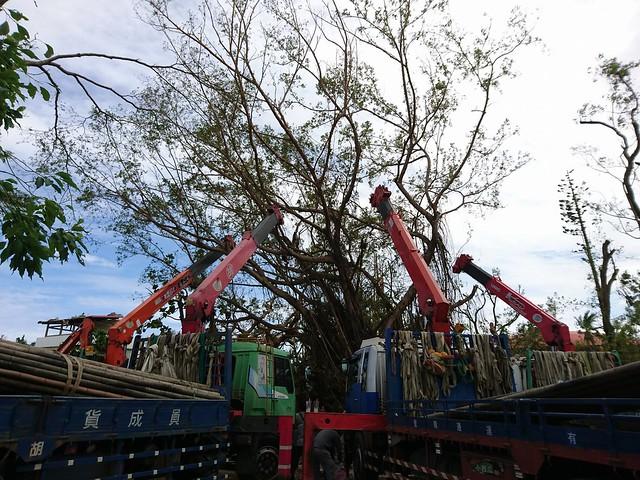 台東救樹,出動多部吊卡車。圖片來源:樹花園 Treegarden。