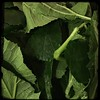 #Pasta #Wilted #ZucchiniLeaves #Homemade #CucinaDelloZio - cut leaves into smaller pieces