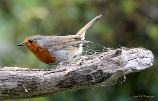 Robin (Erithacus Rubecula) | by GemElle Photography - off & on sorry
