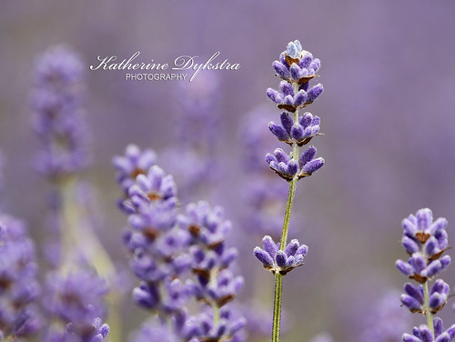 English lavender | by K D Photos