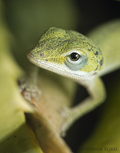 Young Green Anole Portrait | by Steven Sobel