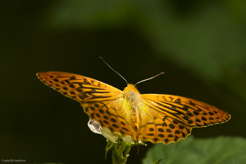 Silver Washed Fritillary | by Wildlifestudios