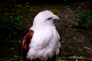Ninoy Aquino Parks & Wildlife Center - Philippine Serpent Eagle | by RodelBontes
