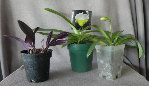 recent orchid acquisitions | by Aeranthes