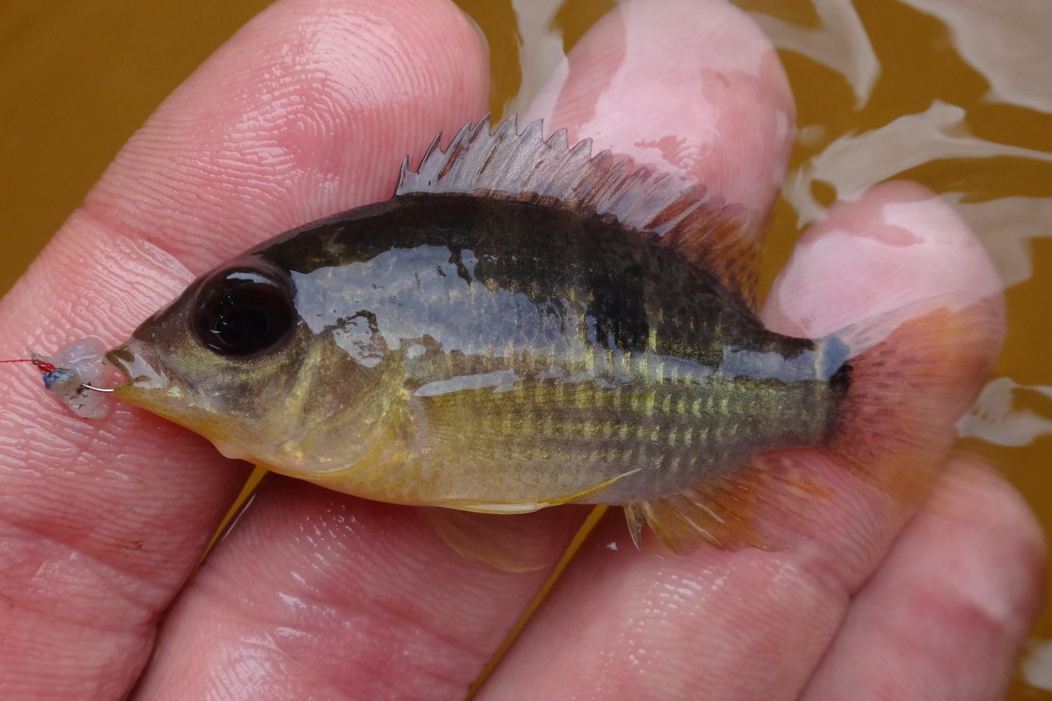 Ben Cantrell's fish species blog: Peruvian Amazon part 1