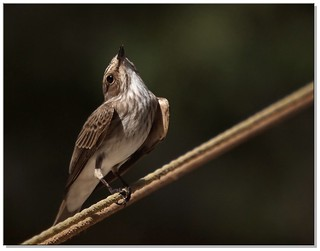 Spotted flycatcher, الذبابي | by ammadoux
