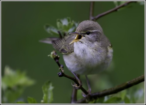Willow Warbler 3 | by Richard C Bailey