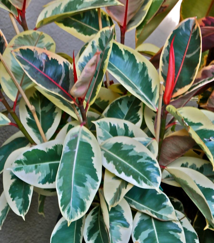 Ficus Elastica Decora Variegata Dsc 1595 April 2010
