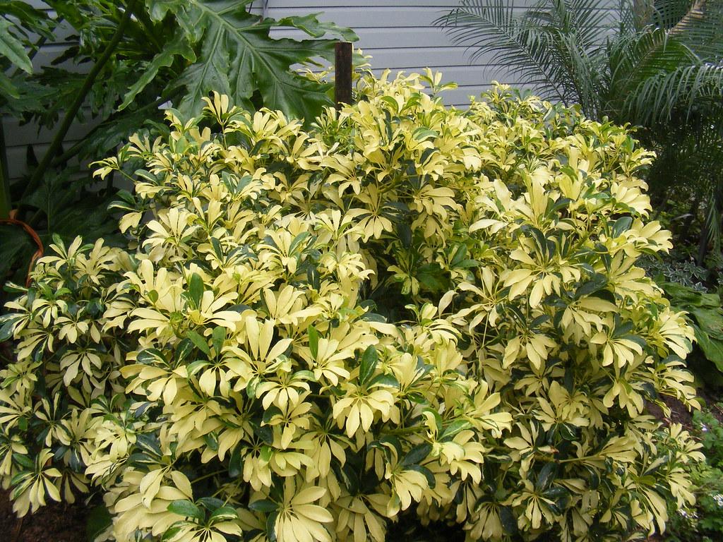 23 schefflera arboricola variegata judy 39 s jungle flickr - Schefflera variegata ...