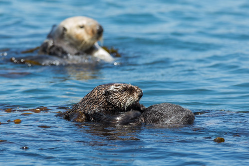 Sea Otter (Enhydra lutris) off Target Rock 03 June 2012 | by mikebaird