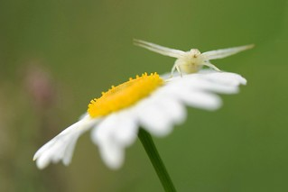 Crab Spider on daisy | by Red~Star