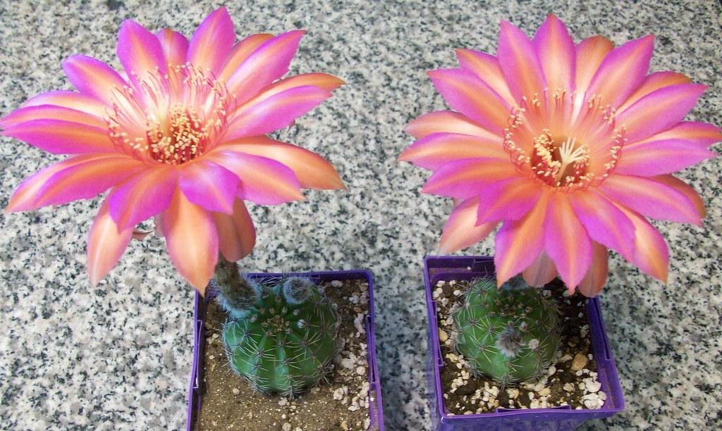 "Echinopsis Schick hybrid ""Raoul Wallenberg"" 2 plants bloom ... Echinopsis Dominos"