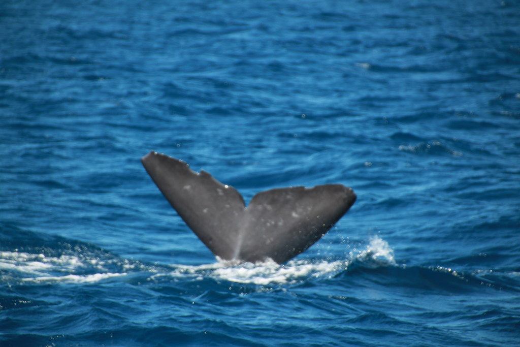 Azores, São Miguel, Whale Watching