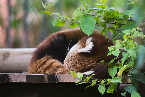 Resting Red Panda | by Jean-David & Anne-Laure