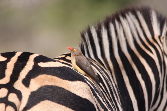 Zebra Teeth Mutualism - Symbiosis ...