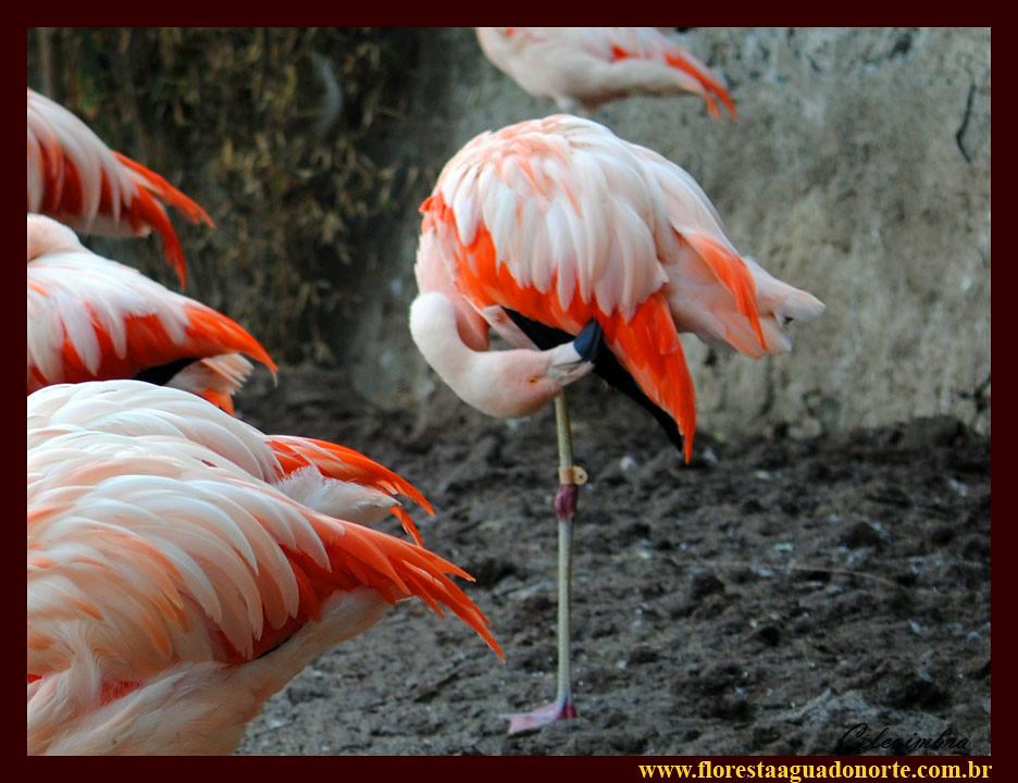flamingo chileno phoenicopterus chilensis pássaro rosa bic flickr