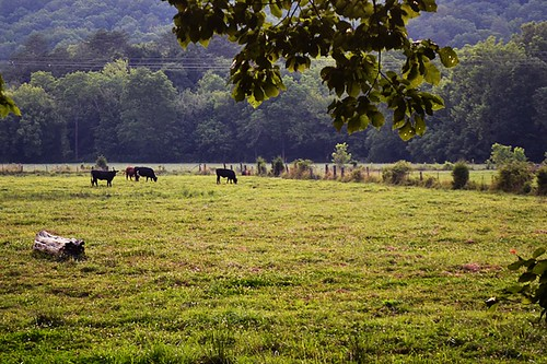 cows | by Sara Jane ૐ