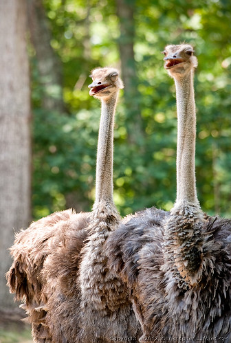 Ostriches #1 | by Chris Laforêt