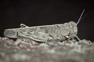Band-winged Grasshopper | by tapbirds