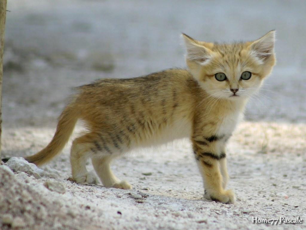 B b chat des sables 2 mois parc des f lins 77 france flickr - Photo de bebe chat ...