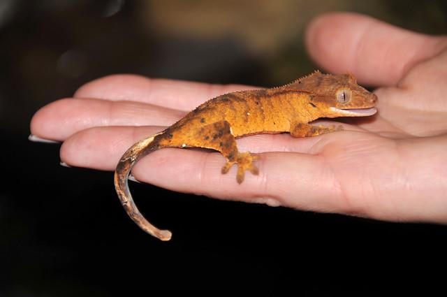 Eyelash Crested Gecko Melissa s handEyelash Crested Gecko
