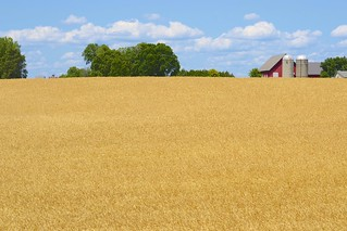 Field of golden wheat in urban Ottawa at the Central Experimental Farm. | by Jamie McCaffrey