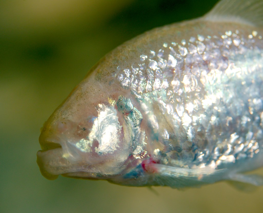 Mexican Blind Cave Fish_1