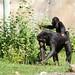 Chimpanzee  27368