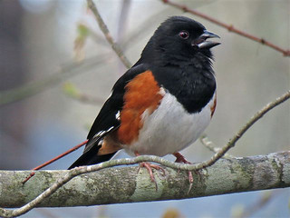Photo of the Week - Rufous Sided Towhee (RI) | by U. S. Fish and Wildlife Service - Northeast Region