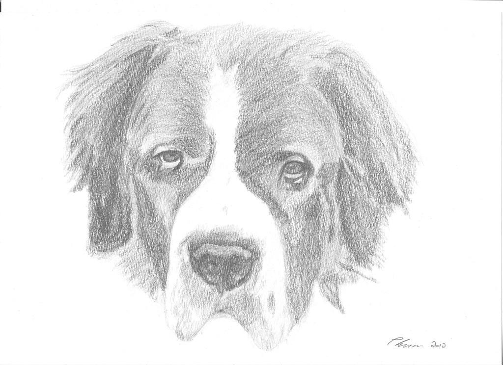 st bernard pat lucas drawings flickr