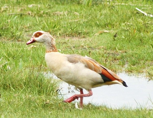 Egyptian Goose | by Jacky4me