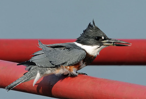 Belted Kingfisher | by photosbyjoe