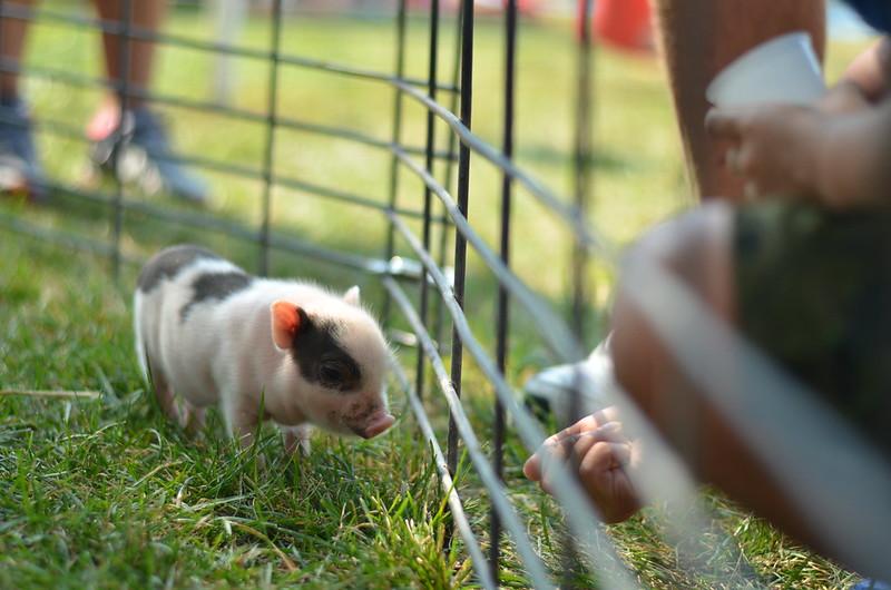 Tiny Baby Piggy