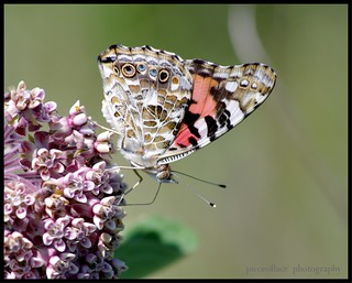 Painted Lady (Vanessa cardui)... | by pieceoflace photography
